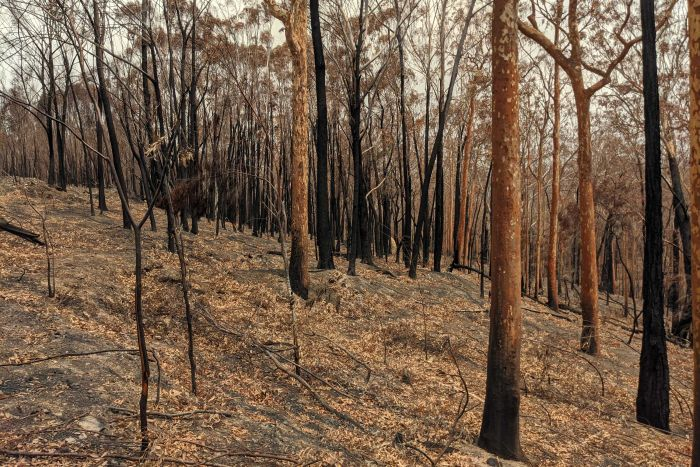 In New South Wales alone, more than 5.4 million hectares has been burned. (ABC Science: Joel Werner)